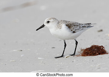 Sanderling foraging on a beach in fall - Florida -...