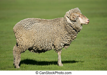 Merino sheep - A merino sheep standing in lush green pasture...