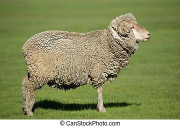 Merino sheep - A merino sheep standing in lush green pasture...
