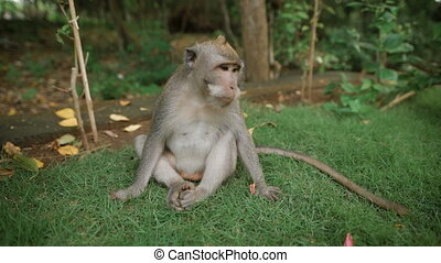 Zoo in Bali. Monkey sitting on the grass and looking for...