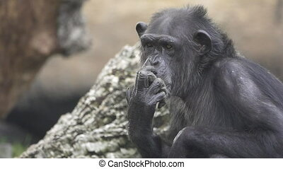 Closeup of chimpanzee scratching nose, flat color, slow...