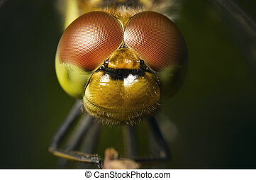 four spotted Chaser - Frontal macro view of a four patch...