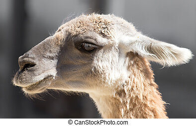 Portrait of a llama at the zoo