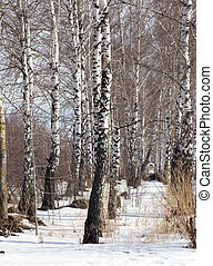 birch on nature in winter