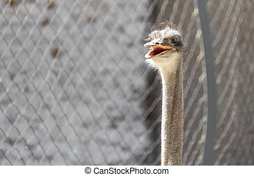 Portrait of ostrich on the nature