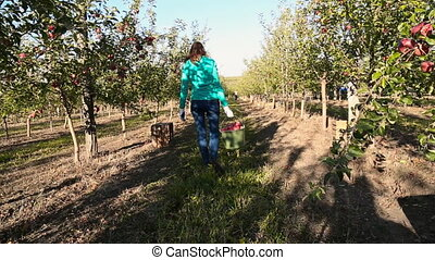 woman with a bucket of apples in the garden walks