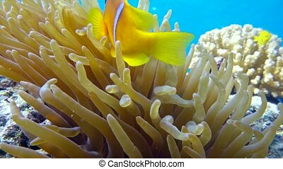 Clown fish in anemone close, Red sea. Egypt. 4K