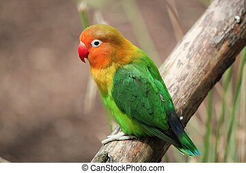 Bird agapornis-fischeri - Colored bird agapornis-fischeri...