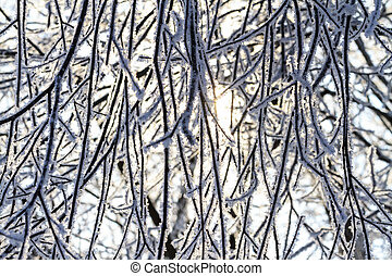 branches covered with frost penetrated by sunlight