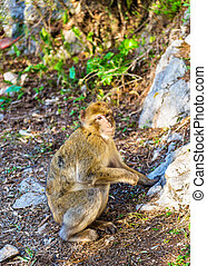 Barbary macaque at the Upper Rock of Gibraltar, a British...