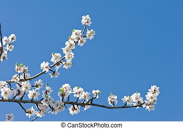 Spring Blossom - Beautiful blossoming branch of an...