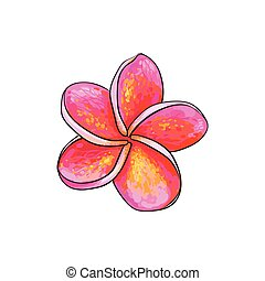Single pink plumeria, frangipani tropical flower, sketch...