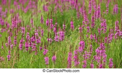 Purple Loosestrife flower - flowering purple loosestrife...
