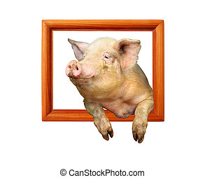 pig looks out from wooden frame