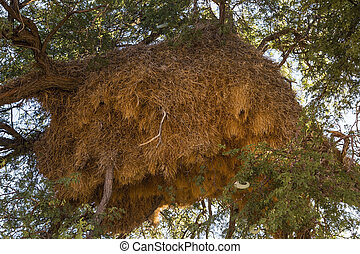 nests of sociable weaver - birds nets of sociable weaver,...