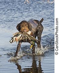 Duck Hunting Dog - A duck hunting dog with a duck