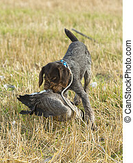 Goose Hunting - A hunting dog with a goose