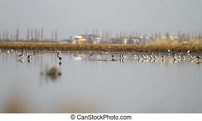 dunlin ,Calidris alpina run through the shallow water mirror