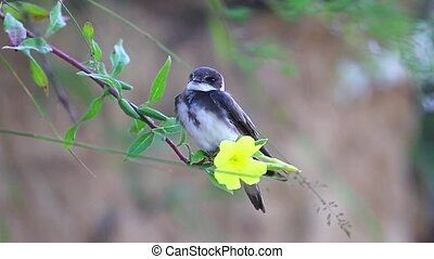 Sand martin sitting on a yellow flower