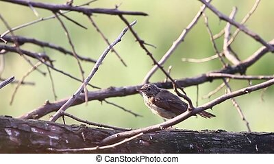 Common whitethroat jumping on branches that are flooded with...