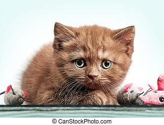 brown british short hair kitten - portrait of brown british...
