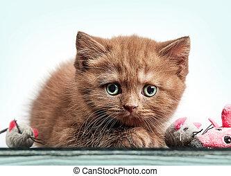 brown british short hair kitten - portrait of brown british...