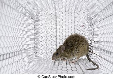 rattrap - Rat in a cage trap with no way out no way to...