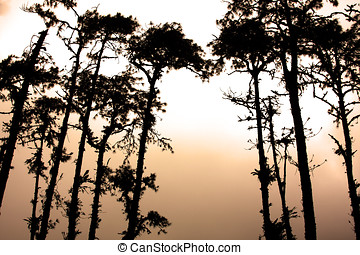 Pine trees silhouettes at dawn in a forest clearing