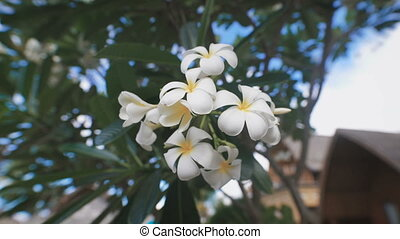 Close up of wonderful blooming tropical flower of frangipani tree. Image of plumeria inflorescence with indescribable delicate aroma.