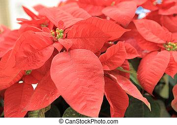 Christmas flower poinsettia indoor - Christmas wallpaper....