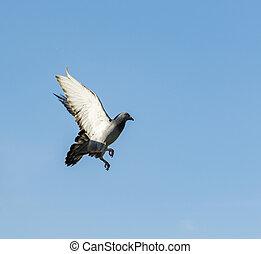 pigeon bird flying mid air against blue sky