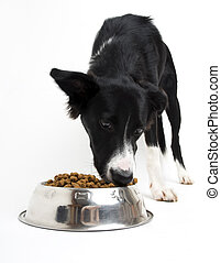 Dog - Young border collie eating food on white background...