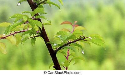 water drops at the tree - close-up water drops at apricot...