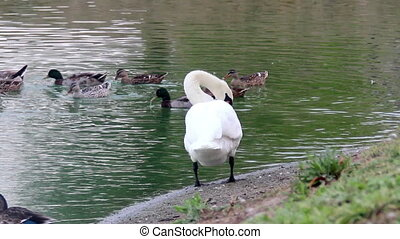 preening swans at the pond - the preening white swan at the...