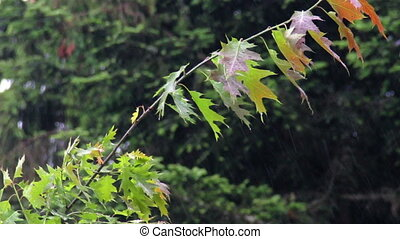 maple in the rain - close-up maple tree in the rain