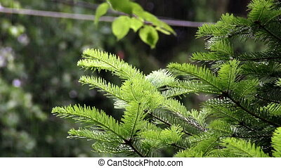 fir branch in the rain