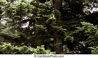 fir in the rain - silver fir and spruce in the rain