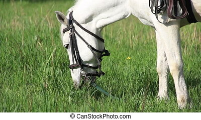 white horse - close-up white horse eat the grass