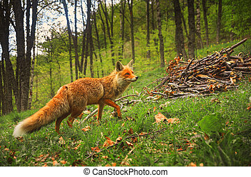Wild red fluffy fox with curious look walks in the forest on grass and fallen leaves with bundle of wood near.