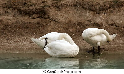 preening swans at the pond