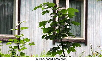 wet maple tree