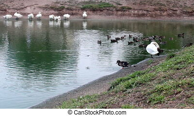 preening swans at the pond - the preening white swans and...