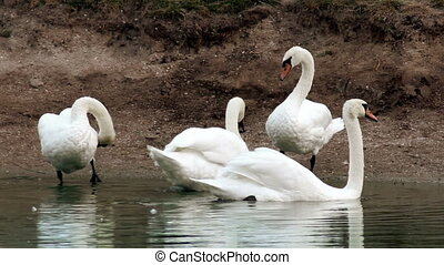 preening swans at the pond - the preening white swans at the...