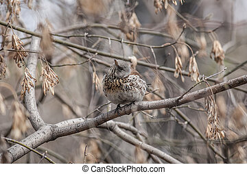Fieldfare, Turdus pilaris - Fieldfare, (Turdus pilaris) is...