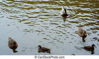 duck, Drake and ducklings swimming in the water.