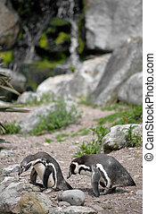 penguins in fota wildlife park near cobh county cork ireland