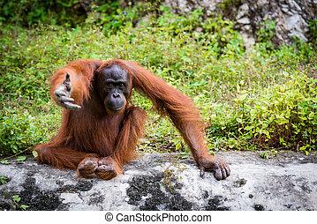 Orangutan Asian species of extant great apes