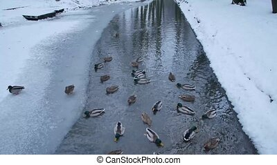 A flock of ducks swimming in the ice-hole on a frozen pond.
