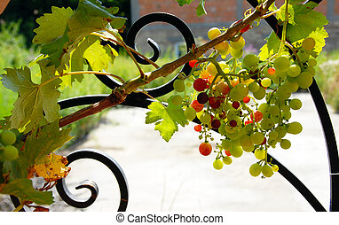 Grapes cluster - growing grapes cluster on vine plant...