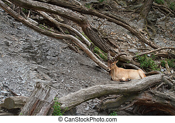 Young male wild Caucasian tur on rock background. outdoors
